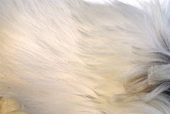 Pele da cabra Foto de Stock