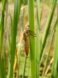 Pele da libélula com água das plantas Imagens de Stock Royalty Free