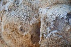 A pele da textura do fundo e as lãs do camelo humped fotografia de stock royalty free