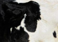 Pele da vaca de leiteria Imagem de Stock