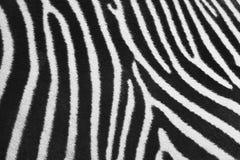 Pele da zebra Imagens de Stock