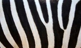 Pele da zebra Imagem de Stock Royalty Free