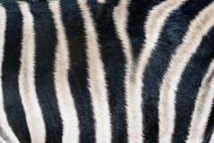 Pele da zebra Fotografia de Stock Royalty Free