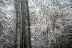 Pele de um cavalo Fotografia de Stock