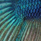 Pele de um peixe Siamese azul da luta Imagem de Stock