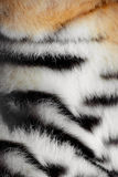 Pele de um tigre foto de stock royalty free