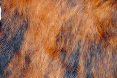 Pele de uma vaca Fotos de Stock Royalty Free