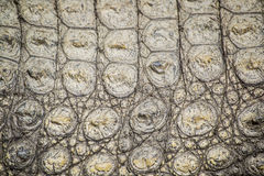 Pele do crocodilo Foto de Stock