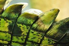 Pele do crocodilo com farpas Fotos de Stock Royalty Free