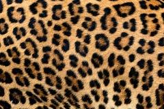Pele do detalhe do leopardo imagem de stock royalty free