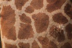 Pele do girafa Imagem de Stock