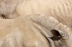 Pele do rinoceronte branco Imagens de Stock Royalty Free
