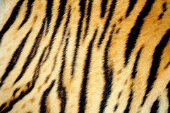 Pele do tigre fotografia de stock