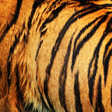 Pele do tigre Foto de Stock Royalty Free