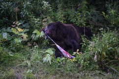 Pele do urso Foto de Stock