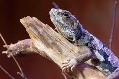 Pele em mudança do cordylidae do lagarto que descansa na madeira Imagem de Stock Royalty Free