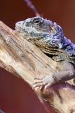 Pele em mudança do cordylidae do lagarto que descansa no vertical de madeira do close up Imagens de Stock Royalty Free