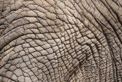 Pele enrugada do elefante Fotos de Stock Royalty Free