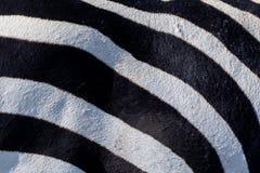 Pele preto e branco da zebra imagens de stock