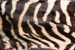 Pele real da zebra para fundos Fotos de Stock Royalty Free