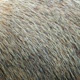 Pele textured marmota Imagem de Stock