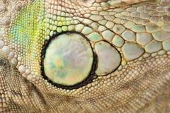 Pele verde da iguana Imagem de Stock