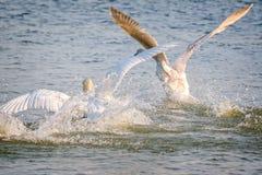 Pelea de los cisnes foto de archivo
