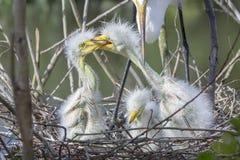 Pelea de los polluelos blancos de la garceta fotografía de archivo