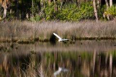 Pelecaniformes de h?ron de Great White, Areidae photographie stock