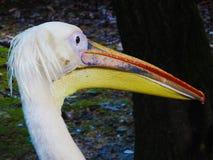 Pelecanus - красивый итальянский пеликан стоковые изображения