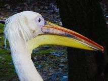 Pelecanus - Beautiful Italian Pelican stock images
