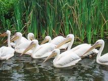 Pelecanus. Big white birds on the river stock photos