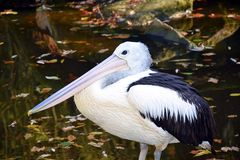 Pelecanus Conspicillatus Pelican in Water Stock Photo royalty free stock image