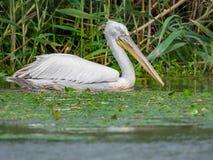Pelecanus crispus in Danube Delta. RarepPelecanus crispus world`s largest freshwater bird in Danube Delta, Romania royalty free stock photo
