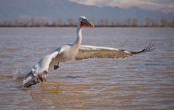Pelecanus crispus Royalty Free Stock Photos