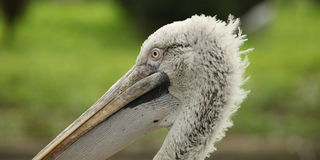 Pelecanus crispus Royalty Free Stock Photography