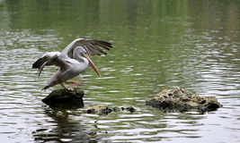 Pelecanus Royalty Free Stock Images