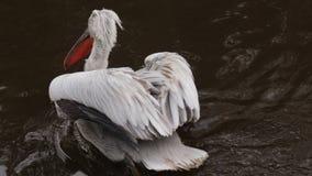 Pelecanus Erythrorhynchos - pelicano branco americano no rio video estoque