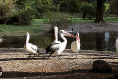 Pelecanus Royalty Free Stock Photos