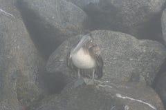 Pelecanus Occidentalis пеликана Брайна Стоковое Фото