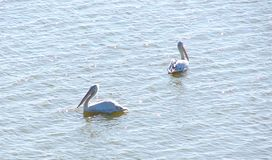 Pelecanus Onocrotalus 2 большой белых пеликанов плавая на поверхность воды Стоковая Фотография RF