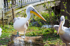 Pelecanus onocrotalus also known as the eastern white pelican Stock Images