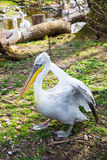 Pelecanus onocrotalus also known as the eastern white pelican Royalty Free Stock Photo