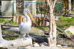 Pelecanus onocrotalus also known as the eastern white pelican Royalty Free Stock Image