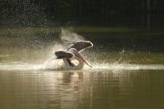 Pelecanus onocrotalus che spruzza acqua Immagini Stock