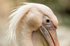 Pelecanus onocrotalus del pellicano allo zoo, pellicano solo, bello uccello rosato vicino allo stagno, uccello acquatico fotografie stock