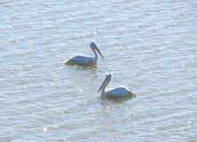 Pelecanus Onocrotalus som för två stor vita pelikan svävar på vattenyttersida Fotografering för Bildbyråer