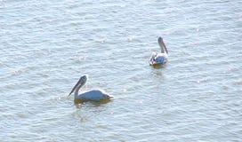 Pelecanus Onocrotalus som för två stor vita pelikan svävar på vattenyttersida Royaltyfri Fotografi