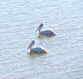 Pelecanus Onocrotalus som för två stor vita pelikan svävar på vattenyttersida Arkivbild