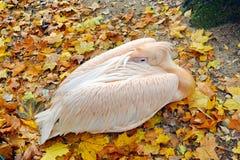 Pelecanus Onocrotalus som för vit pelikan vilar i höst royaltyfri bild